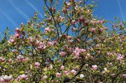 Magnolia tree, Valley Gardens, Virginia Water