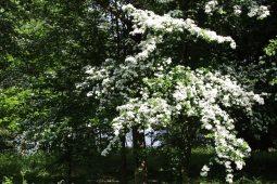 May blossom, Virginia Water