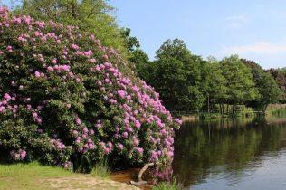 Rhododendrons, Obelisk Pond, Virginia Water