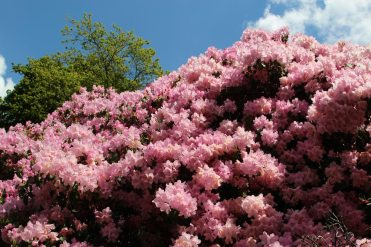 Rhododendrons, Valley Gardens, Virginia Water