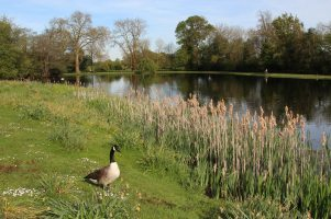 Canada goose beside the Lake, Painshill Park, Cobham