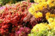 Azaleas, Winkworth Arboretum