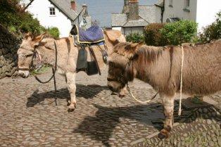 Donkeys, Clovelly
