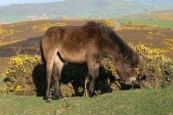 Exmoor pony, Porlock Hill, Exmoor