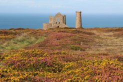 Heather and gorse, Wheal Coates Mine, St. Agnes