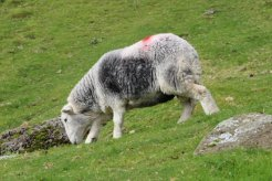 Herdwick sheep, Dungeon Ghyll, Great Langdale