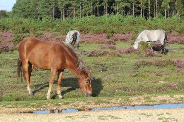 Ponies, near Beaulieu, New Forest