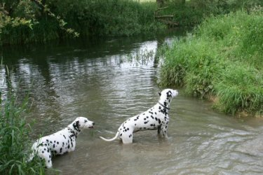 Dogs in the River Thames, Cricklade (first town on the Thames)