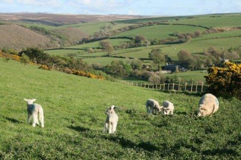 Spring lambs, Lorna Doone Country, near Malmsmead, Exmoor