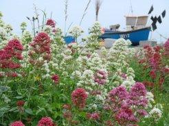 Valerian wild flowers, Aldeburgh