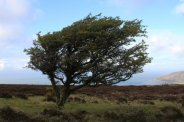 Windswept tree, Porlock Hill, Exmoor