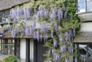 Wisteria, Fir Tree House Tea Rooms, Penshurst