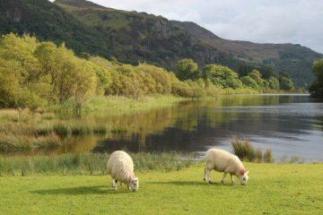 Sheep, Stable Hills, Derwentwater, Keswick