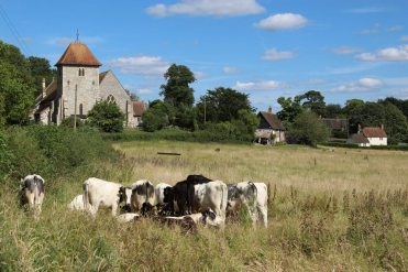 Cows by St. Mary's Church, Aldworth