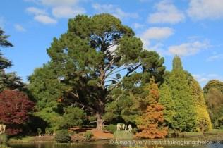Monterey Pine tree, Ten Foot Pond, Sheffield Park Garden