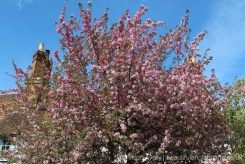 Spring blossom, Brightwell-cum-Sotwell