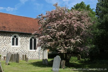 May tree, Holy Trinity Churchyard, Cookham