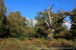 Ancient Oak Tree, Burnham Beeches