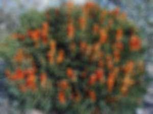 Banksia Ericifolia (Photo: Cas)