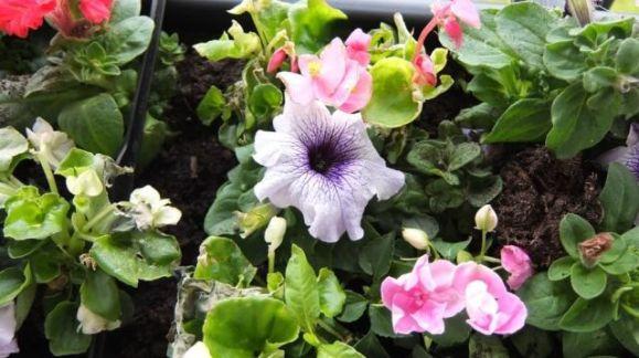 fuji bloem