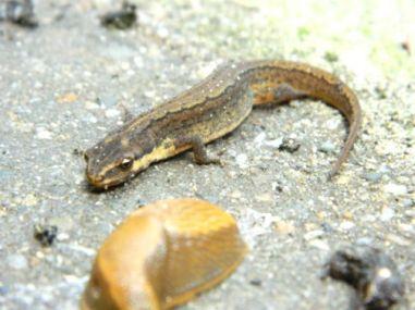 slak en salamander