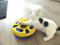 spelen met kattenspeeltje