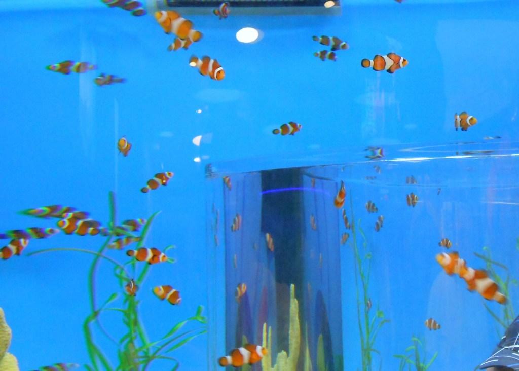 A tank full of Nemos!