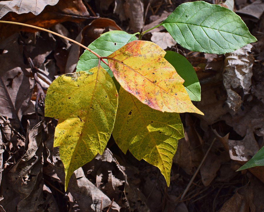 Poison Ivy Fall Coloration
