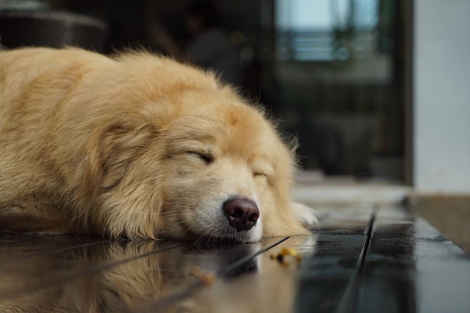 Awkward Situations and Fixes Golden Retriever