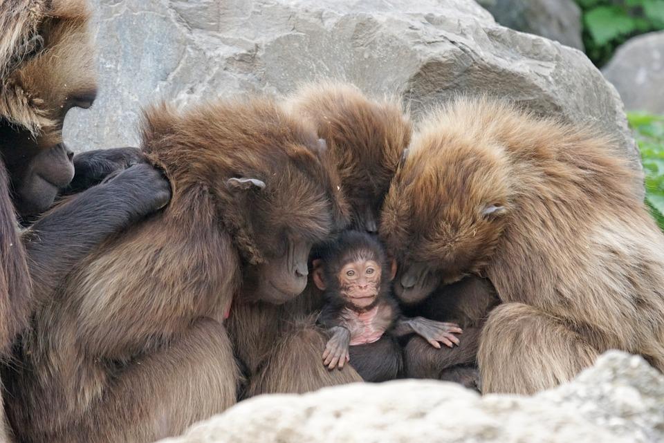 Ape Family Ties How to Tighten Family Bonds