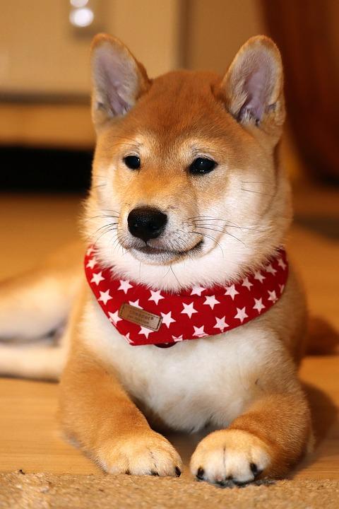 Shiba-Inu Japanese dog breed for Japan Okashi Snack Box
