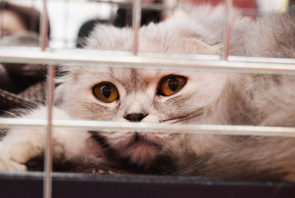 Shelter Cat Pet Adoption Obstacles You May Find Hard to Believe