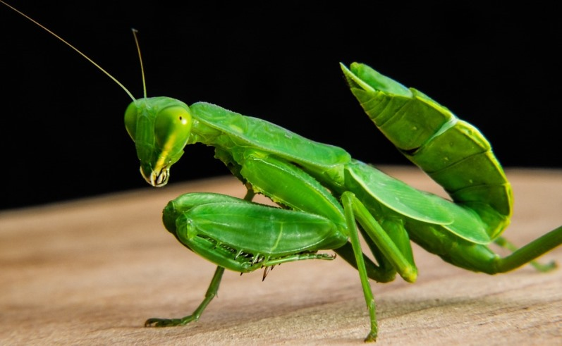 Garden visitors that you want around to control insects, the praying mantis.