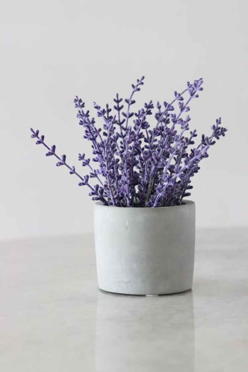 Healing House Plant Lavender