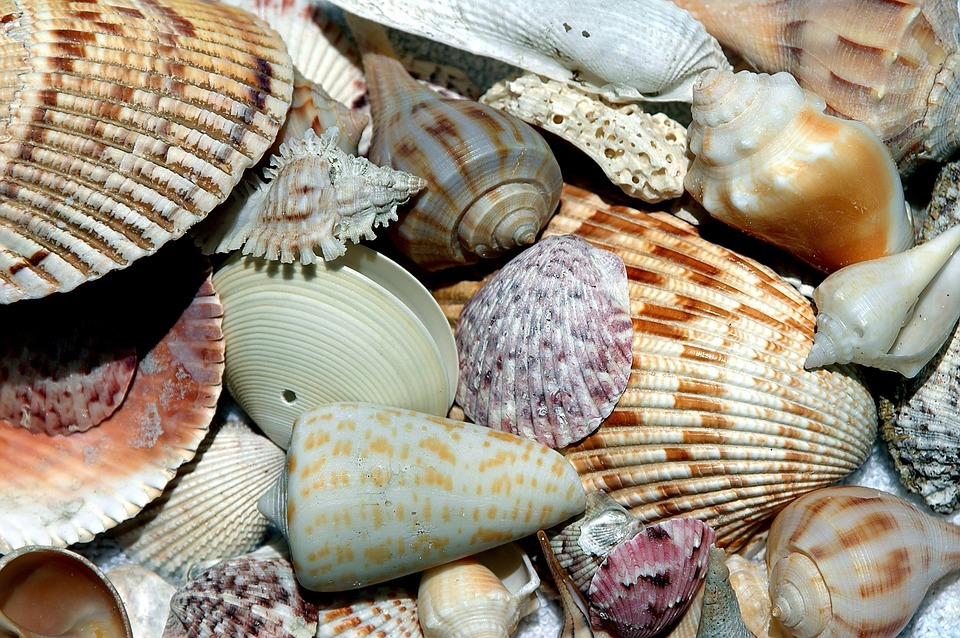 Seashell for Crafts