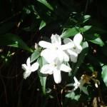 Άνθος γιασεμιού
