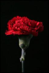 λίγες πληροφορίες για το εξαγόμενο έλαιο απο αυτό το όμορφο άνθος...που αυτές τις μέρες ¨στολίζει¨το Ε.Μ.Π...(Photo by Melody)