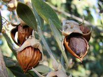 οι καρποί του θάμνου jojoba