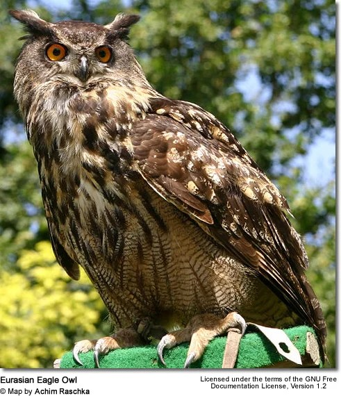 Unfortunately They Have A Relatively Short Lifespan Living Only One To Two Years However This Is Due Their Natural Predators Such As Hawks Eagles