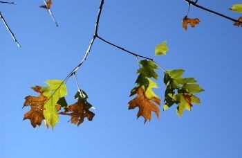 Help prevent the spread of oak wilt: Avoid pruning or wounding oak trees between April 15 and July 15