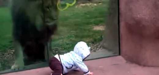 leao tenta comer bebe