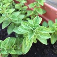 This is the Greek Oregano, I can't wait till they are ready to pick!