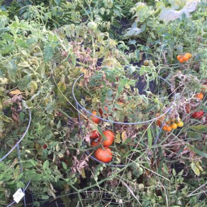 Still some tomatoes but the plants are dead