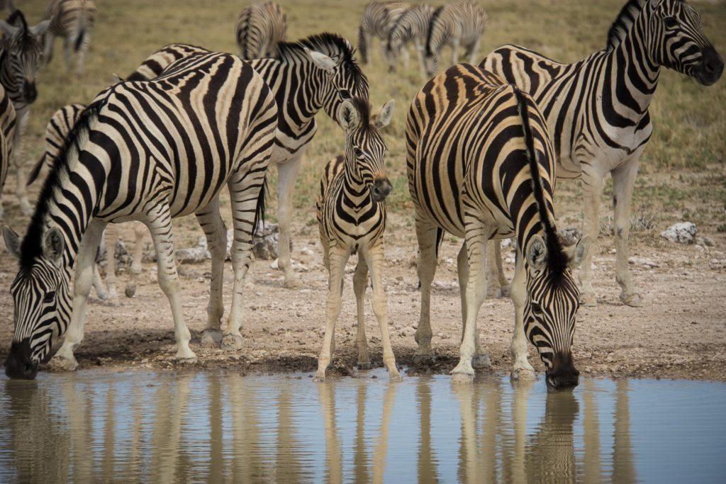 Zebras mit Zebrachen
