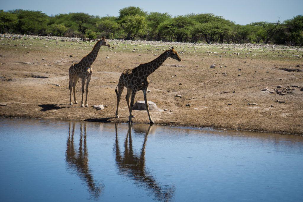 Doppelte Giraffen