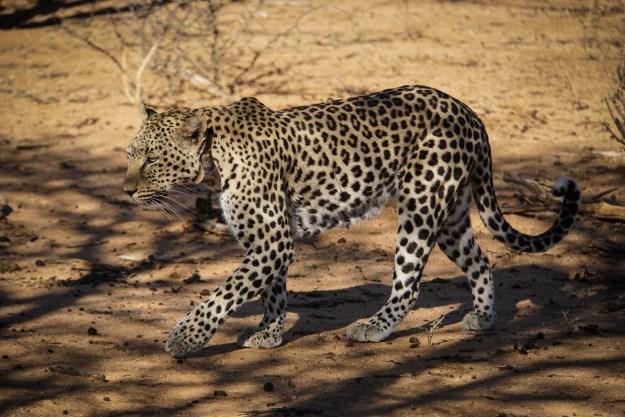 Leopardin Saskia auf der Jagd
