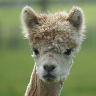 Snooty the Alpaca