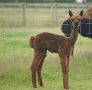 Beck Brow Tutu another Goldmine cria was the youngest to get shorn.