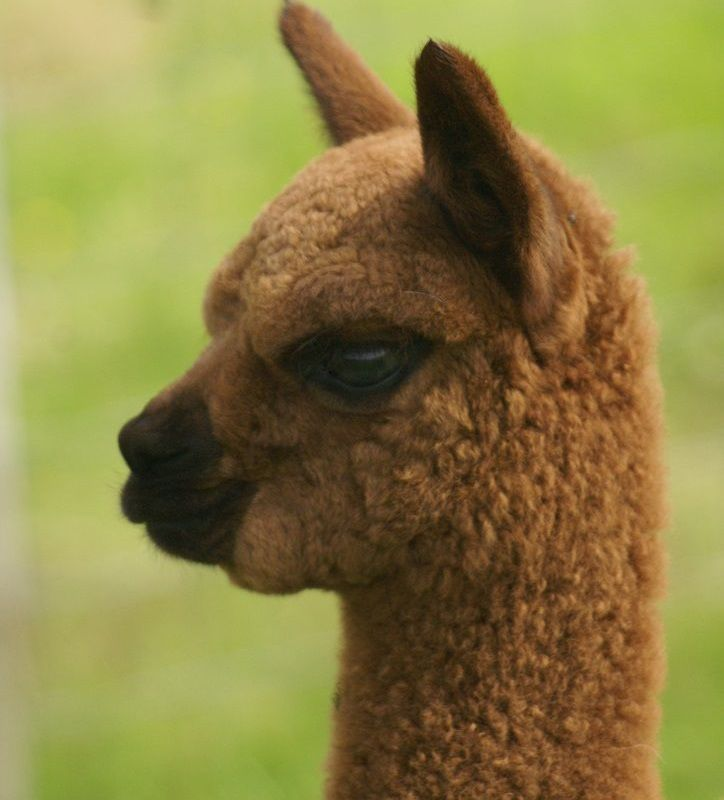 Alpaca Shelters and Belters