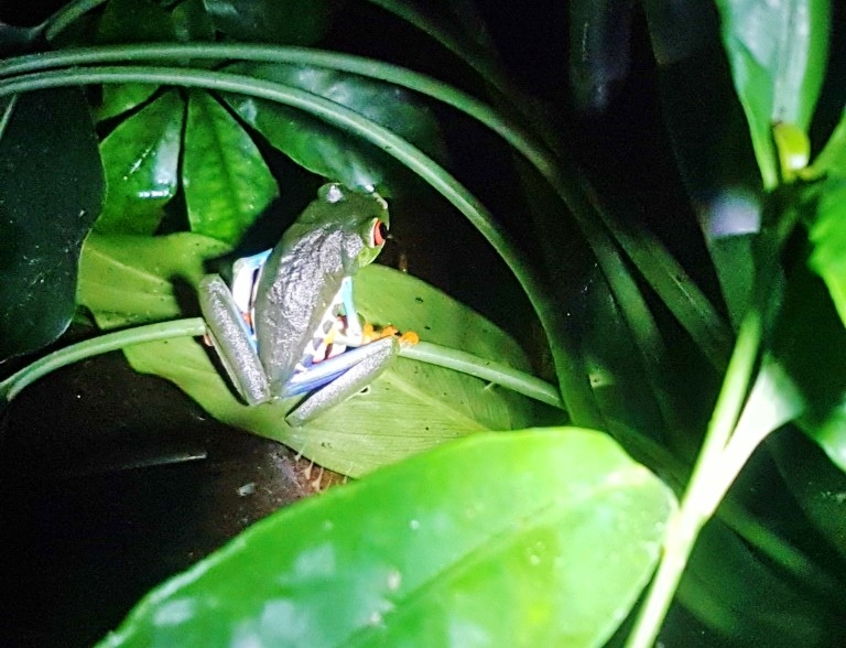 Wildlife in Costa Rica at night - Frog